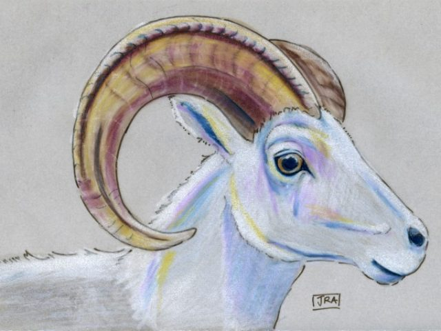 Mammals of Alaska Week: Thinhorn (Dall) Sheep (Ovis dalli)