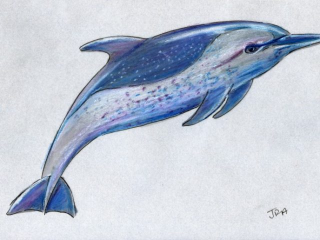 Mammals of Hawaii Week: Pantropical Spotted Dolphin (Stenella attenuata)