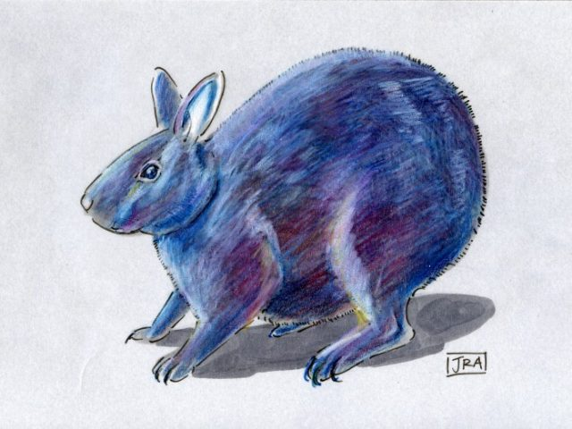 Amami Rabbit (Pentalagus furnessi)