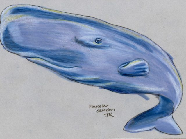 Mammal Olympiad: Diving: Sperm Whale (Physeter catodon)