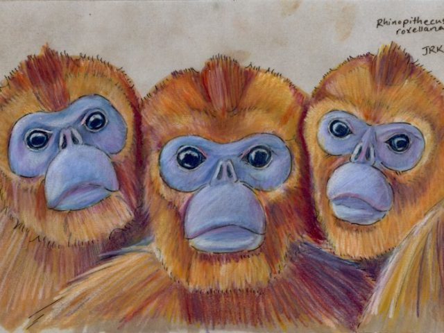 Golden Snub-Nosed Monkey (Rhinopithecus roxellana)