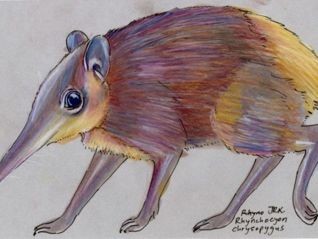 Golden-rumped Elephant Shrew (Rhynchocyon chrysopygus)