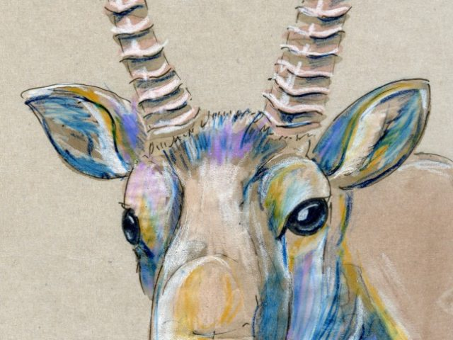 Saiga Antelope (Saiga tatarica)
