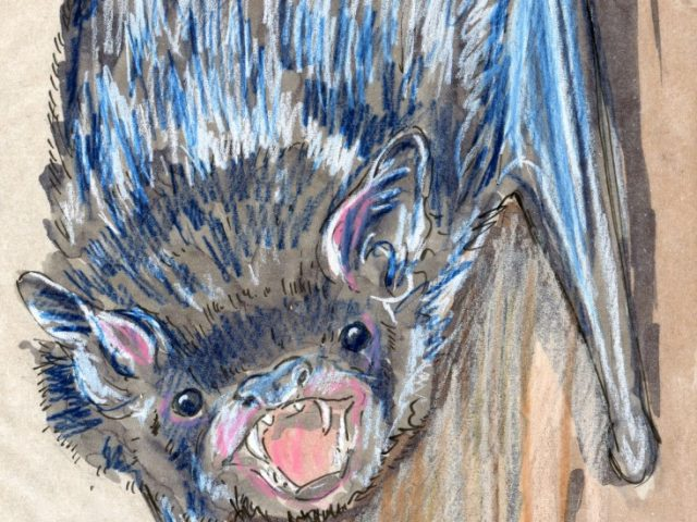 24 Hours: Silver-haired Bat (Lasionycteris noctivagans)