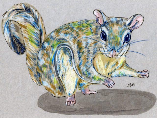 North Carolina Week: Southern Flying Squirrel (Glaucomys volans)