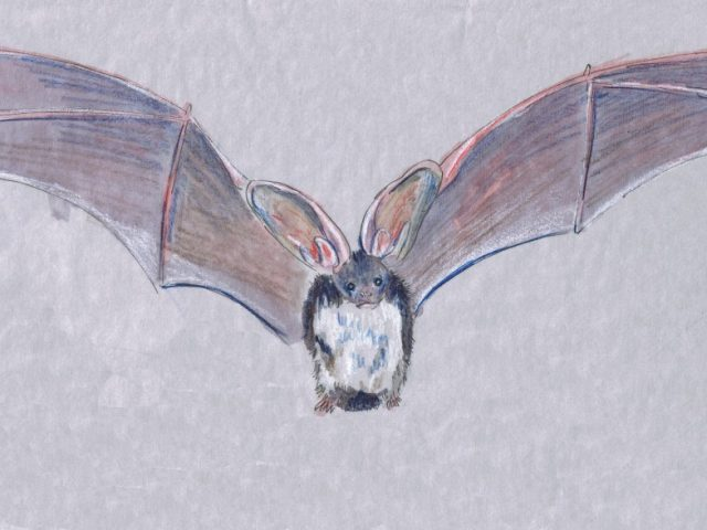 Nocturnal Week: Spotted Bat (Euderma maculatum)