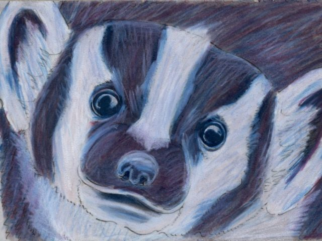World Cup: USA's American Badger (Taxidea taxus)