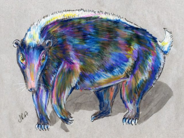 Teledu (Indonesian Stink Badger) (Mydaus javanensis)