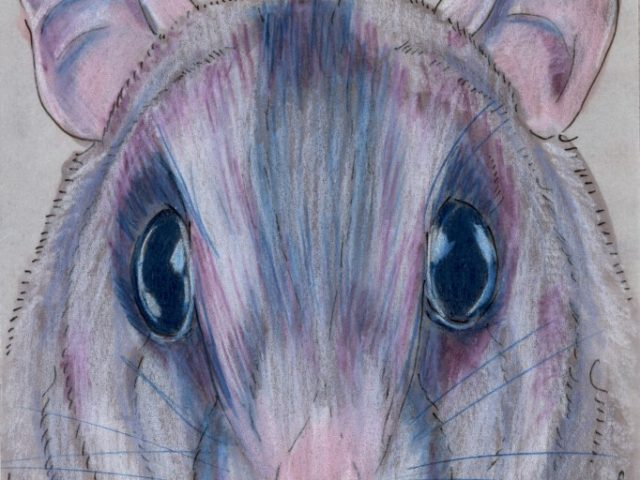 Random Rodent: Acacia Rat (Thallomys paedulcus)