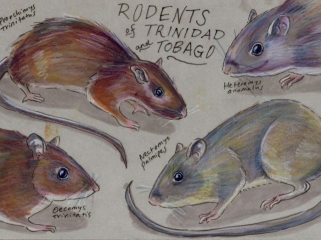 Facebook Friends: Trinidad and Tobago: Quartet of Trinbagonian Rodents