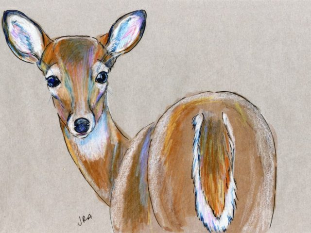 North Carolina Week: White-Tailed Deer (Odocoileus virginianus)