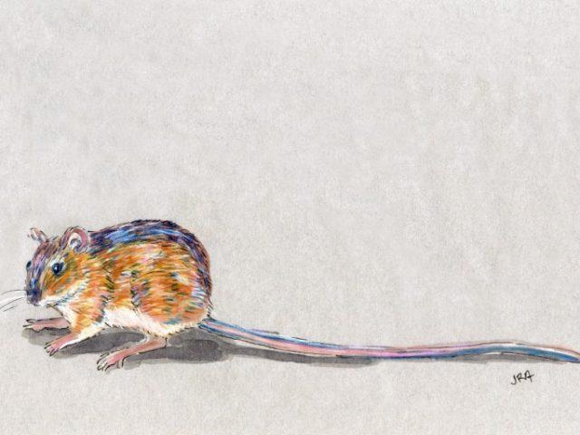 North Carolina Week: Woodland Jumping Mouse (Napaeozapus insignis)