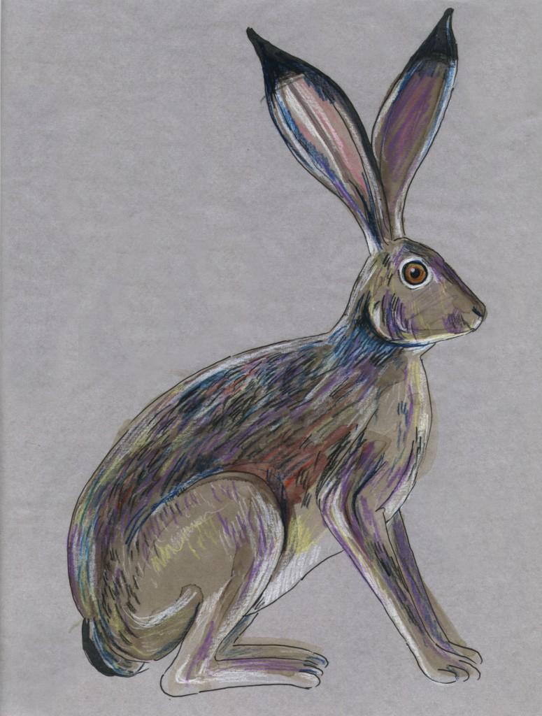 Lepus californicus