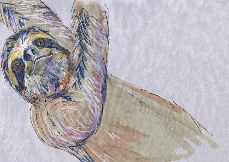 Bradypus variegatus