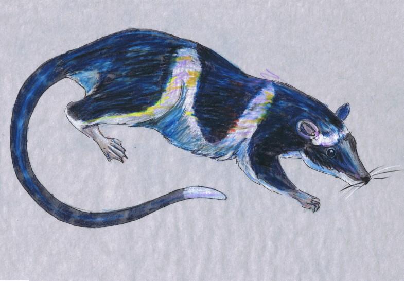 Nocturnal Week: Yapok (Chironectes minimus)