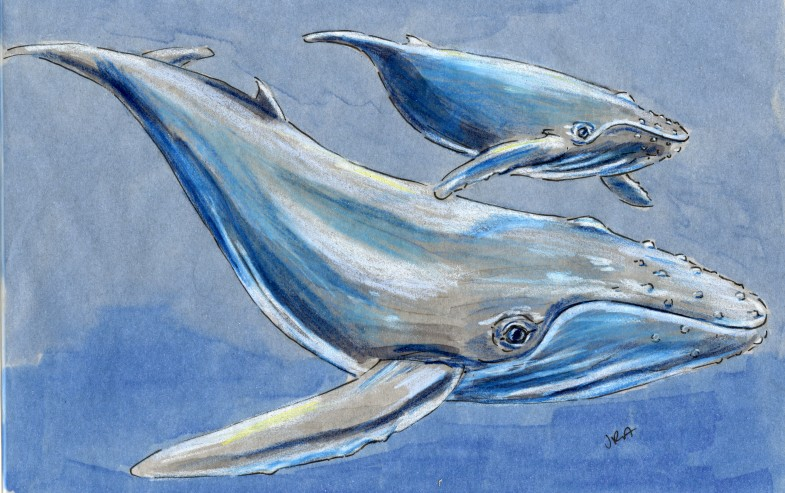 North Carolina Week: Humpback Whale (Megaptera novaeangliae)