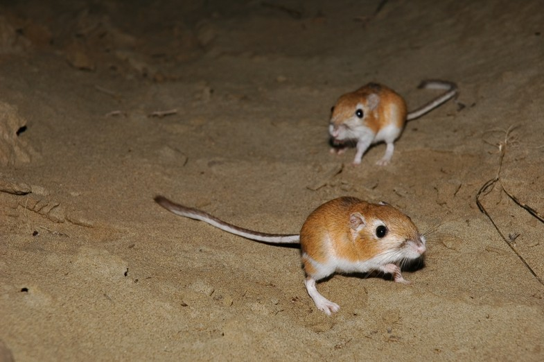 Ord's kangaroo rats by Andy Teucher, licensed under Creative Commons