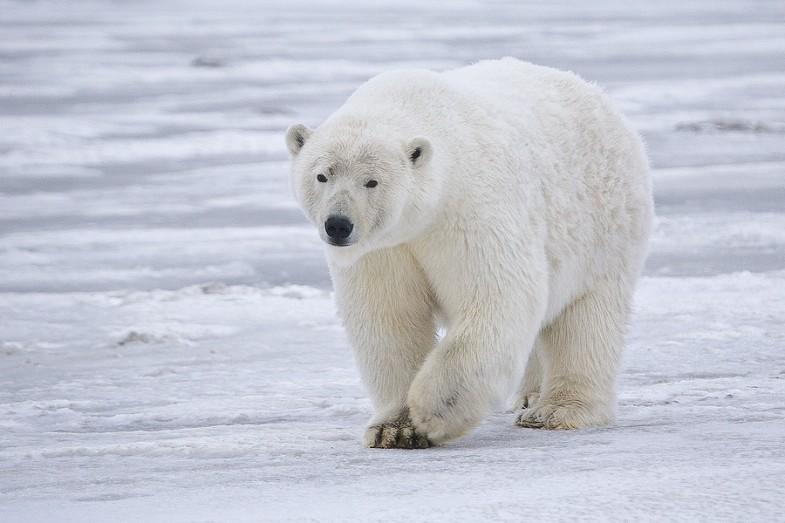 Polar Bear in Alaska by rubyblossom, licensed under Creative Commons