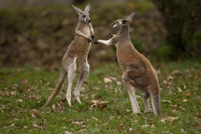 Kangaroo Boxing by Scott Calleja, licensed under Creative Commons