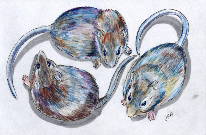 Three rat species