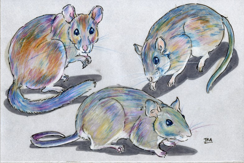 Three rats in the genus Neotoma