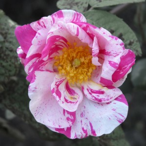 Rosa Mundi (Rosa gallica versicolor) by Sebastian Crump