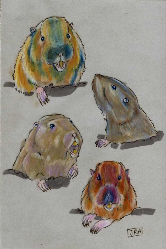 Four pocket gopher species