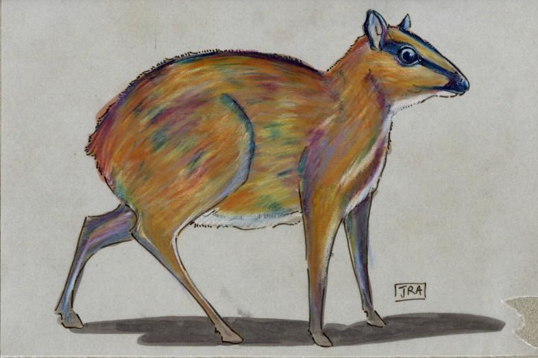 Greater Mouse-Deer (Tragulus napu)