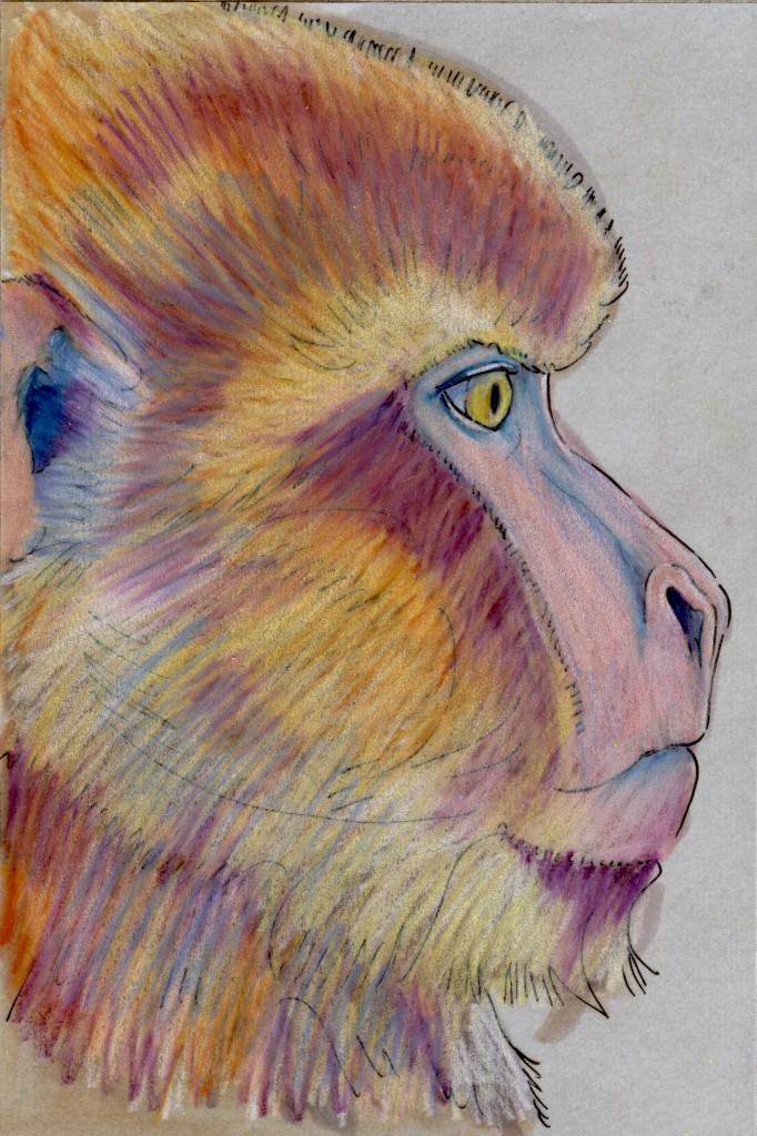 World Cup: Algeria's Barbary Macaque (Macaca sylvanus)