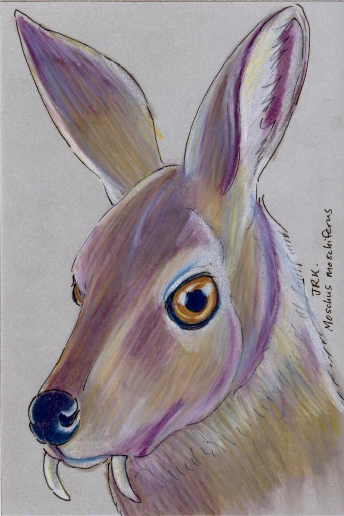 Primorye Week: Siberian Musk Deer (Moschus moschiferus)
