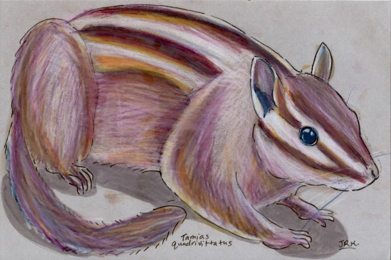 Colorado Chipmunk (Tamias quadrivittatus)