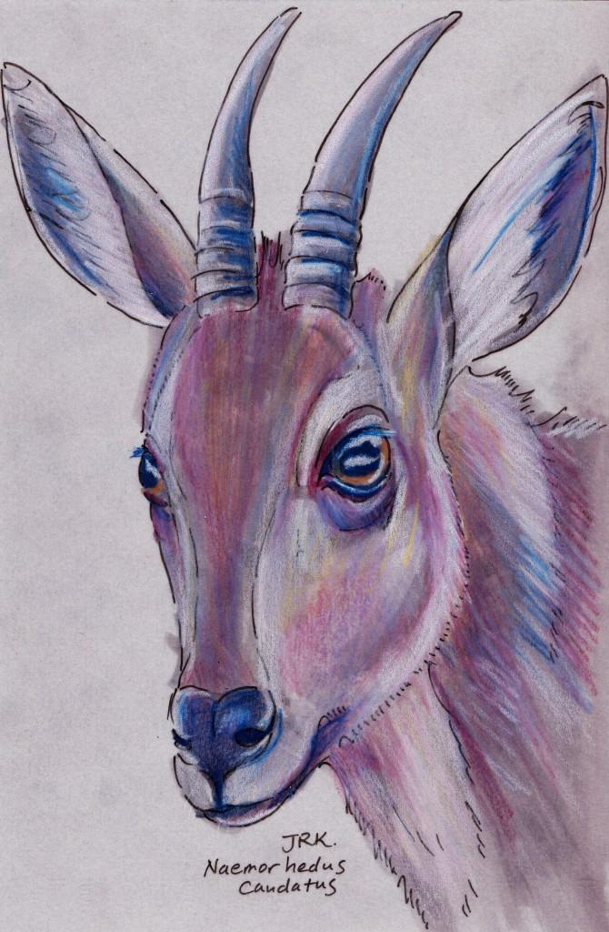 Primorye Week: Long-tailed Goral (Naemorhedus caudatus)