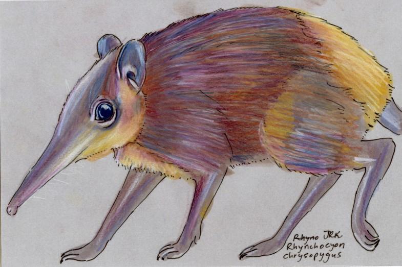 Golden-rumped Elephant Shrew (Rhynchocyon chrysopygus)