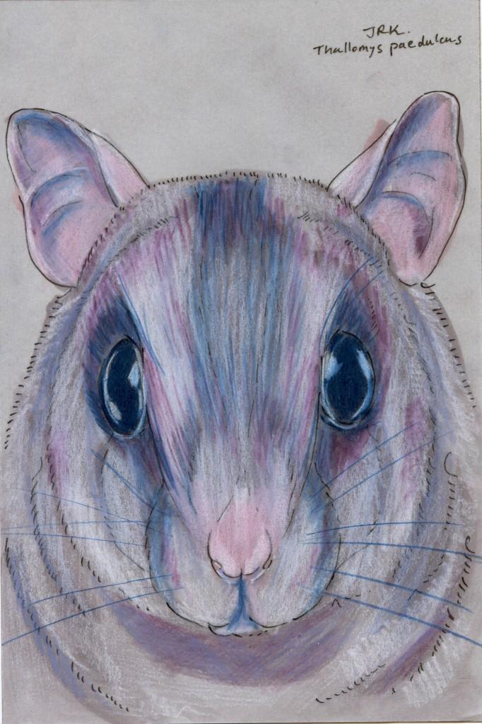 Thallomys paedulcus