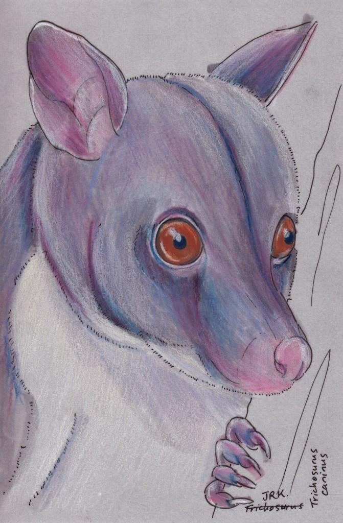 Trichosurus caninus