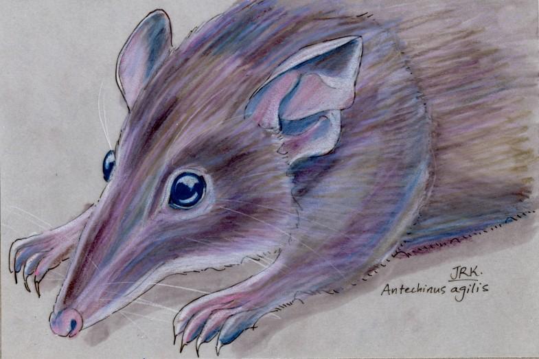 Agile Antechinus (Antechinus agilis)