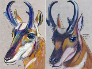An older drawing of a pronghorn next to today's drawing.
