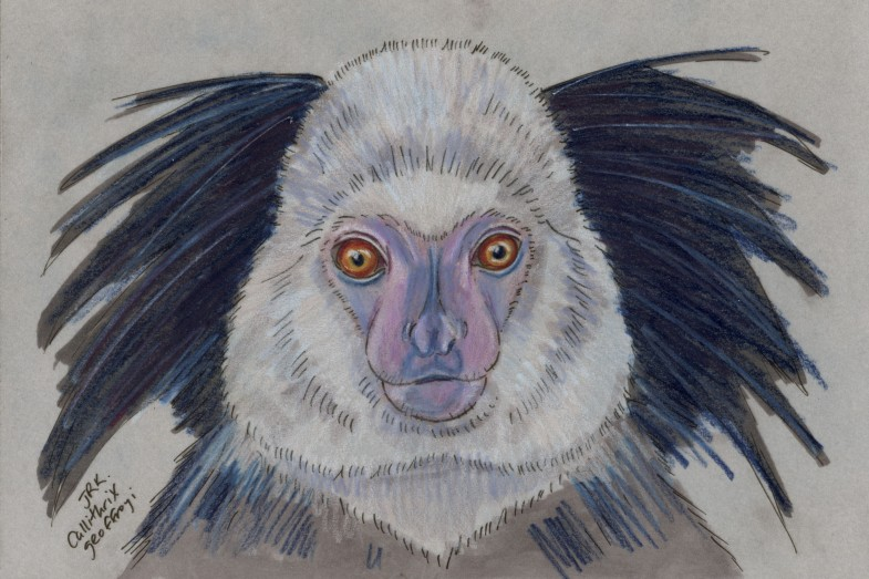 Callithrix geoffroyi