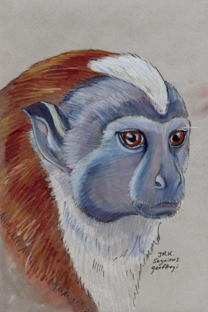 Saguinus geoffroyi