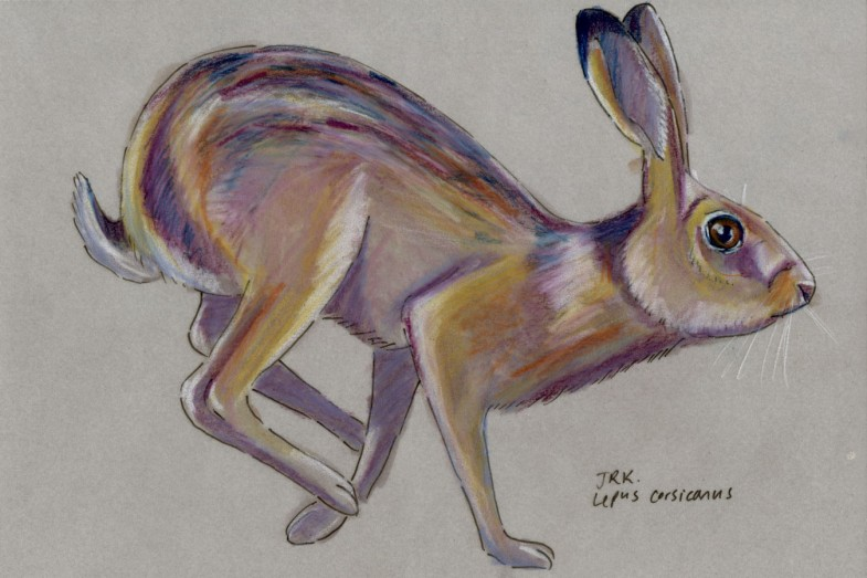Lepus corsicanus