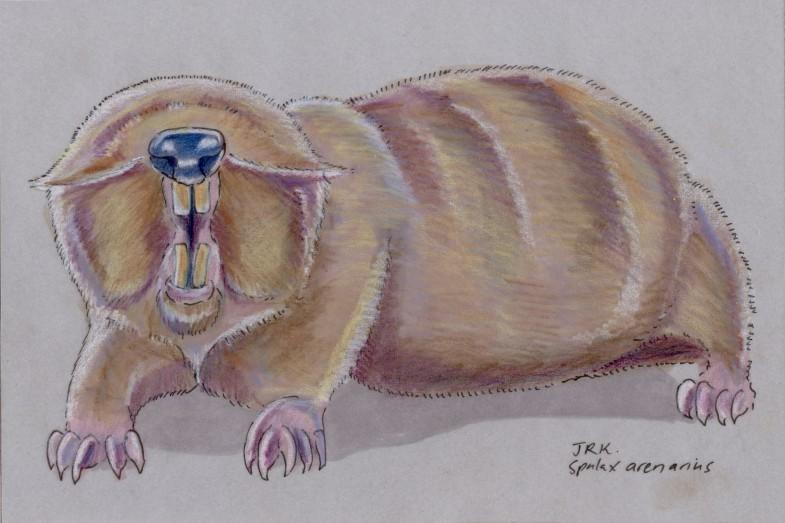 Facebook Friends: Ukraine: Sandy Mole Rat (Spalax arenarius)
