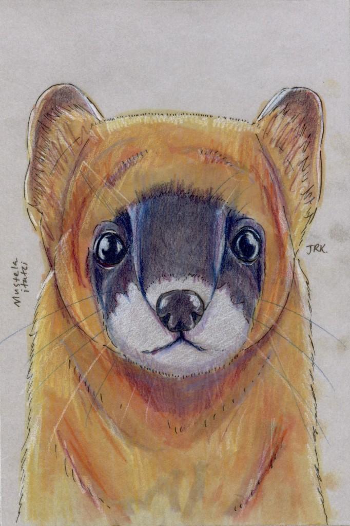 Japanese weasel, Mustela itatsi