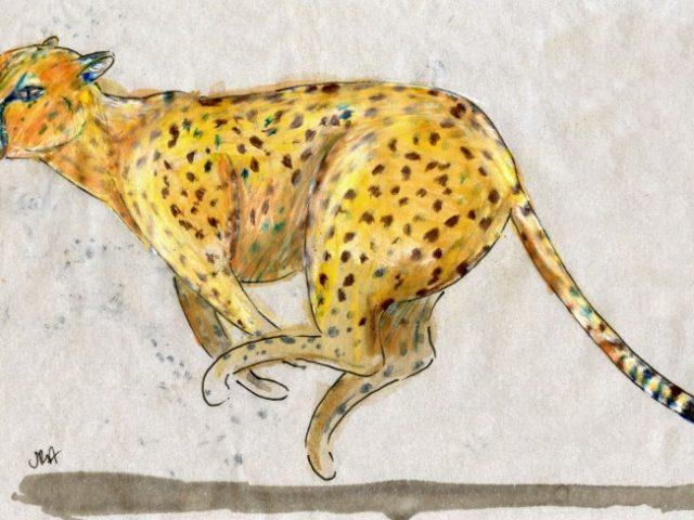 Back Orders: Cheetah (Acinonyx jubatus)