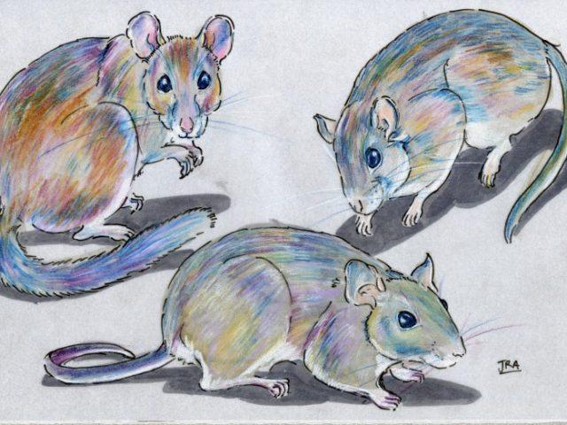 Rats Three Ways (Neotoma spp.)