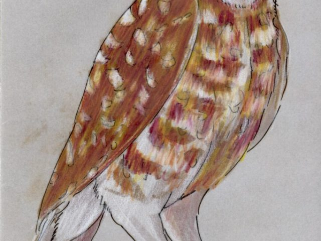 Becoming a Naturalist: Owl Eyes (Athene cunicularia)