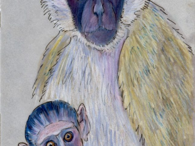 World Cup: South Africa's Vervet Monkey (Chlorocebus pygerythrus)