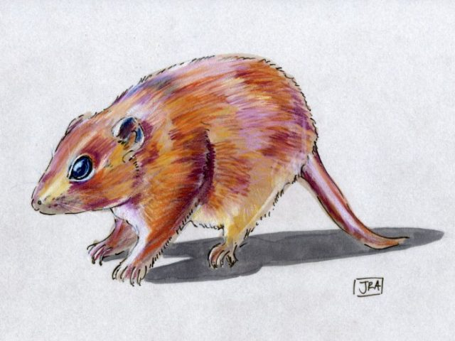 Scientific Names Week: Little Red Kaluta (Dasykaluta rosamondae)