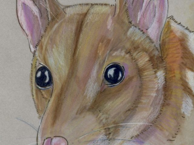Geoffroy Week: Chuditch (Dasyurus geoffroii)