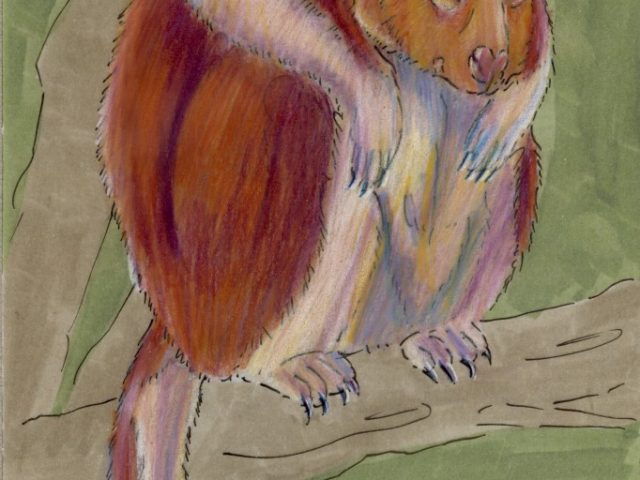 Goodfellow's Tree Kangaroo (Dendrolagus goodfellowi)