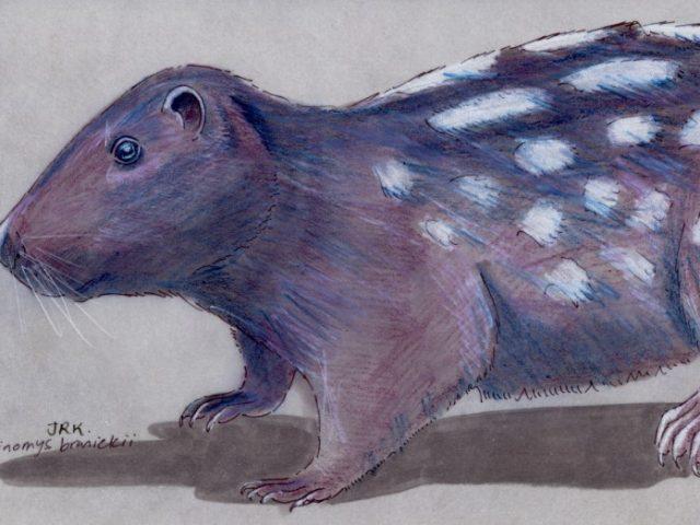 Pacarana (Dinomys branickii)